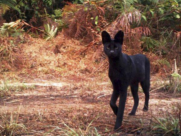 Кошка в Габоне. Народ Teke разводит домашних животных